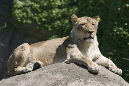 Lioness lying on rock in the sun Stok Fotoğraf