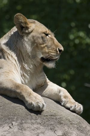 Vertical lioness lying on rock in the sun showing head, chest and paws Stok Fotoğraf
