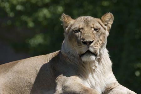Horizontal portrait of lioness showing head Stok Fotoğraf