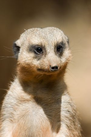 Portrait of African meercat head brightly lit by sun