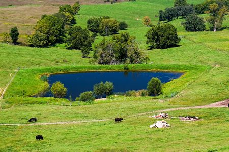 Green grass meadow with grazing cows, a blue pool and trees