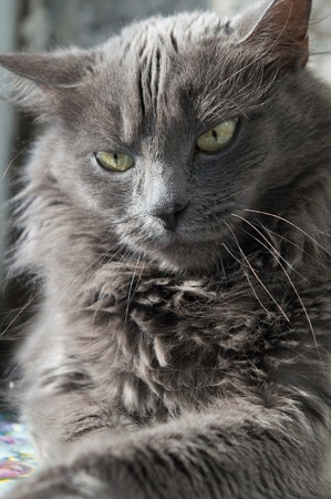 ojos verdes: fluffy gray cat with green eyes. Ukraine Foto de archivo