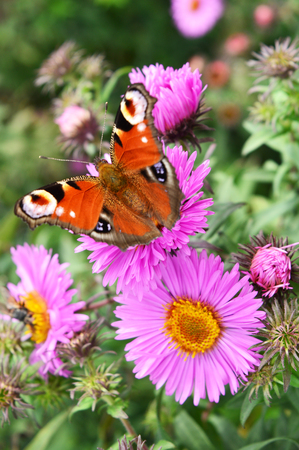 butterfly garden: beautiful bright butterfly sitting on a purple aster. ukraine Stock Photo