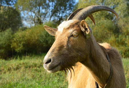 goat head: goat grazing on the banks of the river fall. ukraine