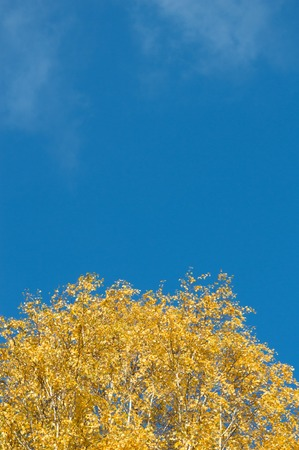 deciduous woodland: birch tree with green yellow leaves fall. Ukraine