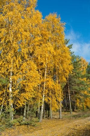 yellow  green: birch tree with green yellow leaves fall. Ukraine