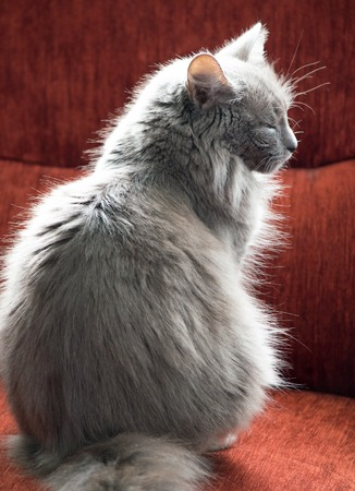 red couch: fluffy gray cat on a red couch