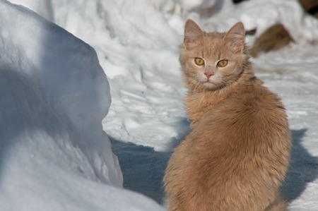 running nose: red cat with yellow eyes on snow