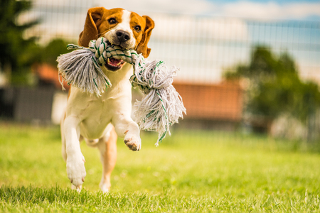 Beagle dog running in the garden with a toy 스톡 콘텐츠