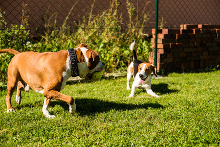 beagle terrier: Pitbull Amstaff dog in the garden playing with Beagle dog and a  ball