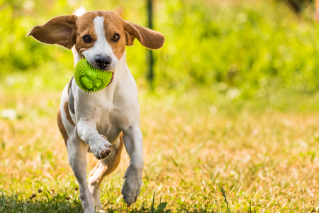 屋外のボールを持って走っているビーグル犬