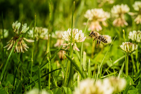 Bee flying over a meadow and collecting pollen from flowers Stock Photo