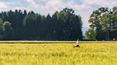 Bird flying over a field of wheat in Austria Stock Photo