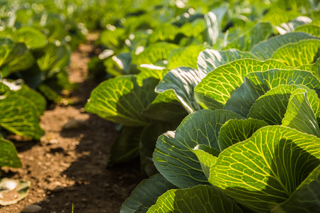 dirtied: Crops of cabbage on a field in Austria summer