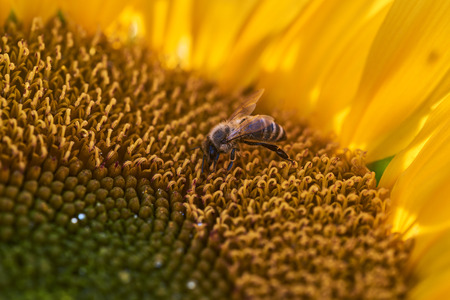 Bee on a sunflower at the field Stock Photo