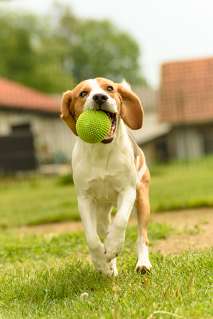 Dog run beagle jumping fun in the garden summer sun with a toy green ball