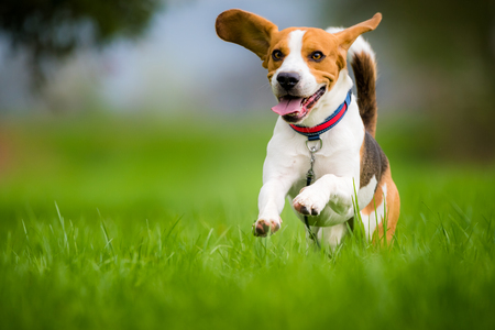 Dog Beagle running and jumping with tongue out through green grass field in a spring Foto de archivo