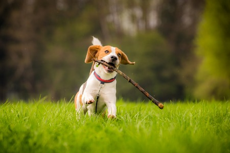 Dog Beagle with a stick on a green field during spring runs towards camera