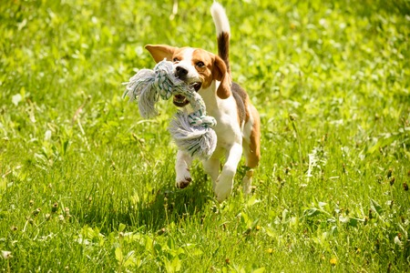 Young Beagle dog runs with a pet toy in a green garden during sunny summer day.
