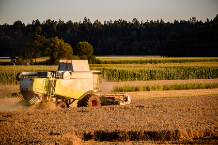 Harvester machine to harvest wheat field working. Combine harvester agriculture machine harvesting ripe wheat field.