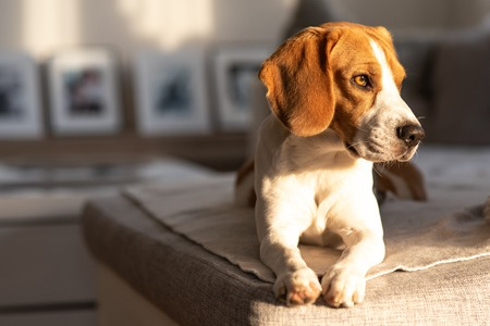 Beagle dog waiting for owner, sadness in big doggy eyes. Patiently waiting on a couch