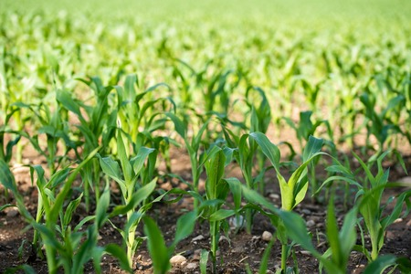 Rows of small young corn growing. View of corn field in summer day. Stock Photo
