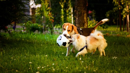 Beagle and german spitz klein playing together with football ball and running in green park garden outdoors in summer