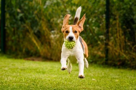 Beagle dog pet run and fun outdoor. Dog i garden in summer sunny day with ball having fun Banco de Imagens