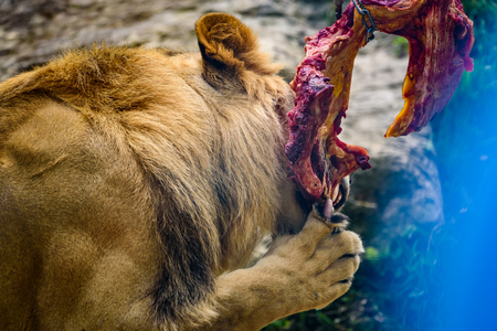 Lion eating chunk of meat in zoo