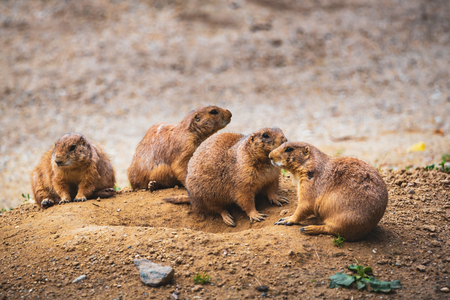 Prairie dogs in zoo Stock Photo