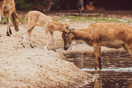 Pere David Deer s calf and doe in water in zoo Stock Photo