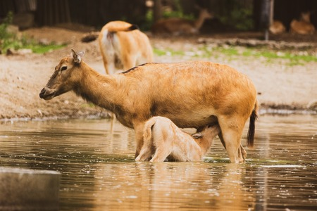 Pere David Deer s calf feeding by doe in water in zoo