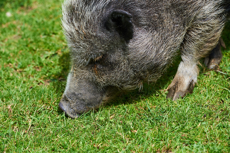 Wild Pig in zoo Stock Photo