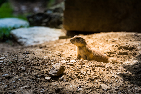 Prairie dog in zoo