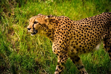 Cheetah walk on meadow in zoo Stock Photo