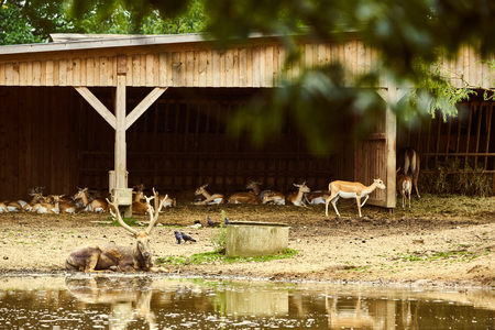 Pere David Deer s in zoo