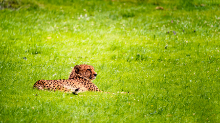 Cheetah lie on meadow in zoo
