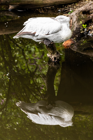 Dalmatian Pelican in zoo