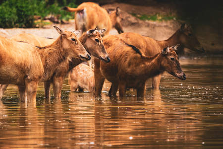 Pere David Deers in water zoo Stock Photo