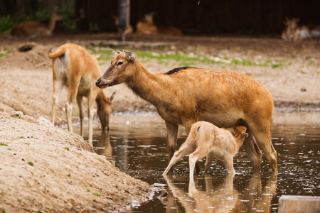 Pere David Deer s calf feeding by doe in water in zoo A
