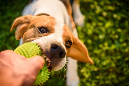 Tug of war with beagle dog on a grass in sunny summer day poster Stock Photo