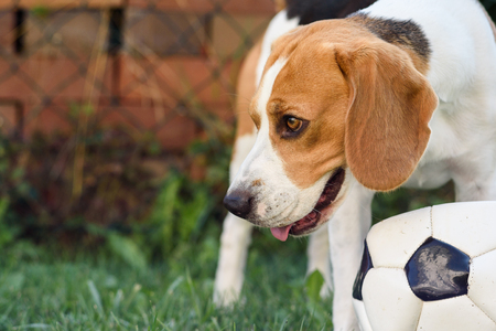 Beagle dog on grass looking left portrait summer day background Stock Photo