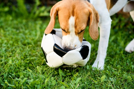 Beagle dog on grass playing with ball summer day background Stock Photo