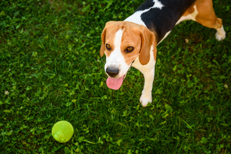 Beagle dog on grass looking up towards camera with tongue out after playing with ball summer day background