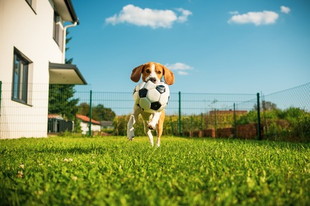 Dog beagle purebred running with a football ball in park outdoors towards camera summer sunny day on green grass Foto de archivo