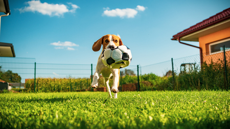 Dog beagle purebred running with a football ball in park outdoors towards camera summer sunny day on green grass Stock Photo