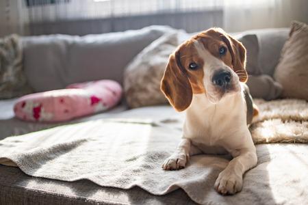 Beagle dog on a cozy sofa, couch, sun falls through window