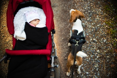Adorable baby girl outside in red stroller sleeps in autumn sunny day. Beagle dog walks on a right on a leash
