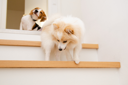 Dogs running down the stairs beagle with german spitz Stockfoto