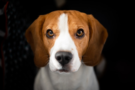 Beagle dog with big eyes sits and looking up towards the camera. Portrait dark background